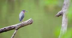 Green heron perched on a branch in a creek, jumps away. Stock Footage