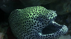 Gasping spotted moray Stock Footage