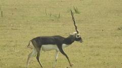 Black buck Gazelle Stock Footage