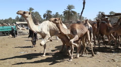 Daraw Camel market, Egypt Stock Footage