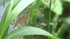 hundreds of tiny orange spiders in web - stock footage