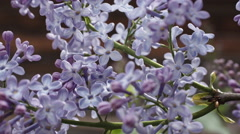 Beautiful lilac branches Stock Footage