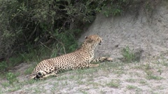 Cheetah Botswana Africa savannah wild animal mammal Stock Footage