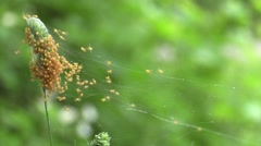 Hundreds of tiny orange spiders in web Stock Footage