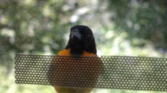 Oriole bird behind window Stock Footage