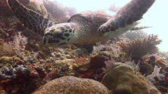 Great diving with turtles Hawksbill turtle near the Maldives Stock Footage