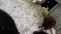 GoPro attached to a sheep running wildly - stock footage