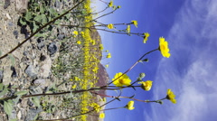 3axis MoCo Time Lapse of Super Bloom 2016 in Death Valley -Vertical- Stock Footage