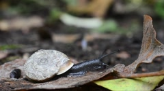 Close-up shoot of a snail coming out from his shell Stock Footage