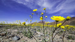 3axis MoCo Time Lapse of Super Bloom 2016 in Death Valley Stock Footage