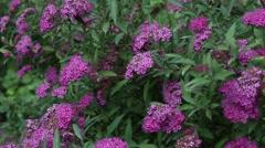 Spiraea x bumalda 'Antony Waterer' - stock footage