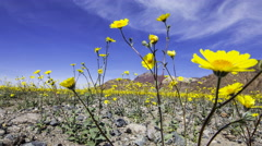 3axis MoCo Time Lapse of Super Bloom 2016 in Death Valley -Long Shot- Stock Footage