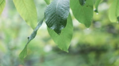 Walnut leaves during rain Stock Footage