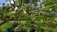 Peterhof.Blooming Apple tree.Slow motion.Saint Petersburg Stock Footage