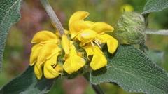 Phlomis fruticosa Stock Footage