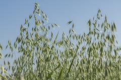 Unripe Oat harvest, green field Kuvituskuvat