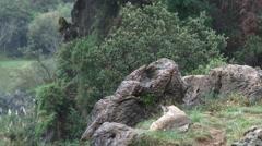 Eurasian Lynx ( Lynx lynx) pair among rocks - stock footage
