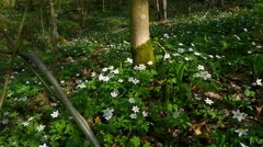 First flowers in the spring forest.slow motion Stock Footage