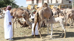 Mother camel breastfeeding baby camel at camel market - stock footage