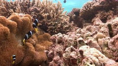 Symbiosis of clown fish and anemones near the Maldives Stock Footage