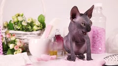 Hairless Don Sphinx kitty cat - stock footage