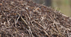 Tight shot of red ants moving eggs in group  Stock Footage