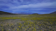 Astro Time Lapse of Super Bloom 2016 in Death Valley under Moonlight -Pan Left- Stock Footage