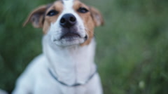 Dog breed Jack Russell Terrier sniffs something in the air Stock Footage