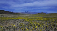 Astro Time Lapse of Super Bloom 2016 in Death Valley under Moonlight -Zoom Out- Stock Footage