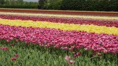 Tulip fields in the Netherlands - pink and yellow flowers Stock Footage