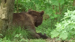 Eurasian Brown Bear lying down behind a tree Stock Footage