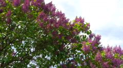 Branch Of A Lilac Lilac Waves On A Wind, Street light Stock Footage