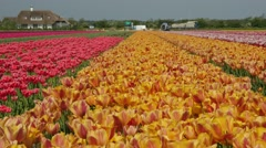 Tulip fields in the Netherlands - Yellow and pink flowers Stock Footage