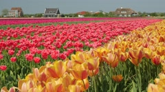 Tulip fields in the Netherlands - pink, yellow and red flowers Stock Footage