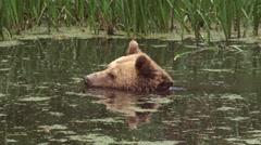 Brown Bear, ursus arctos, takes a bath Stock Footage