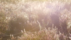 Blossoming heather plants Stock Footage