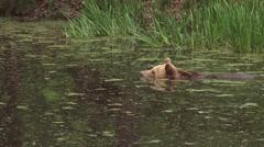 Brown Bear, ursus arctos, swimming Stock Footage