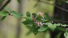 Honeysuckle flowers on a branch in Spring season Stock Footage