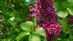 Branch Of A Lilac Lilac Waves On A Wind Stock Footage
