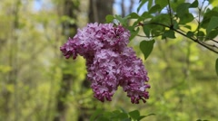 Purple Lilac flowers in the summer season with shallow depth of field. Stock Footage