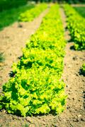 Cultivated field: fresh green salad bed rows - stock photo