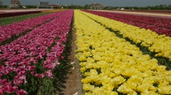 Tulip fields in the Netherlands- Yellow flowers Stock Footage