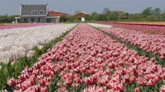 Tulip fields in the Netherlands- purple flowers Stock Footage