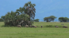 Wildebeests are running and jumping in Tarangire National park - stock footage