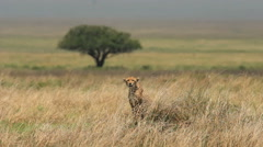 Cheetah is looking for a prey Stock Footage