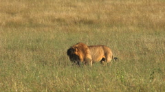 Big male lion is eating his prey, a wildebeest Stock Footage
