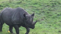 Large black rhino walking Stock Footage