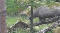 Large rhino with two horns walking Stock Footage