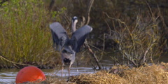 Slow Motion - Grey Heron (Crane) stretches wingspan while jumping Stock Footage