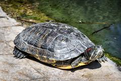 Red-eared slider - Trachemys scripta elegans - basking on the stone Stock Photos